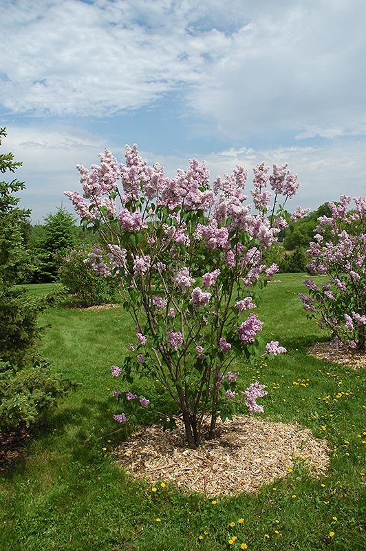 Montaigne lilac syringa vulgaris 39 montaigne 39 in - Syringa vulgaris ...