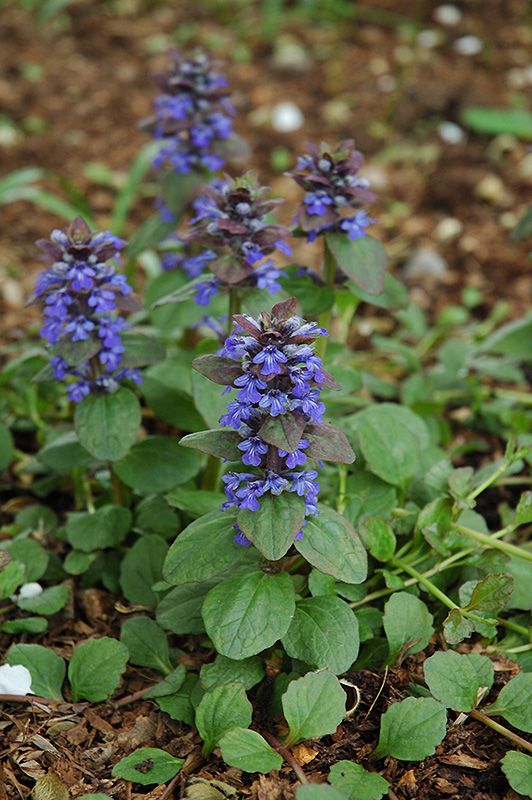 Caitlin's Giant Bugleweed (Ajuga reptans 'Caitlin's Giant') at Eagle Lake Nurseries