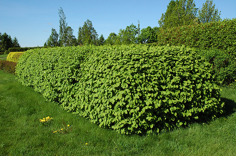 Landscaping With Honeysuckle : Emerald mound honeysuckle lonicera xylosteum in strathmore calgary drumheller