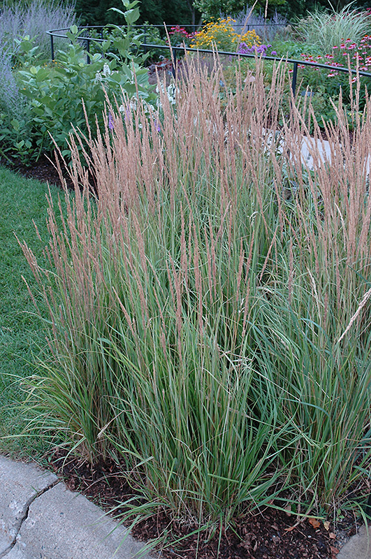 Overdam variegated reed grass calamagrostis x acutiflora for Variegated grass plant