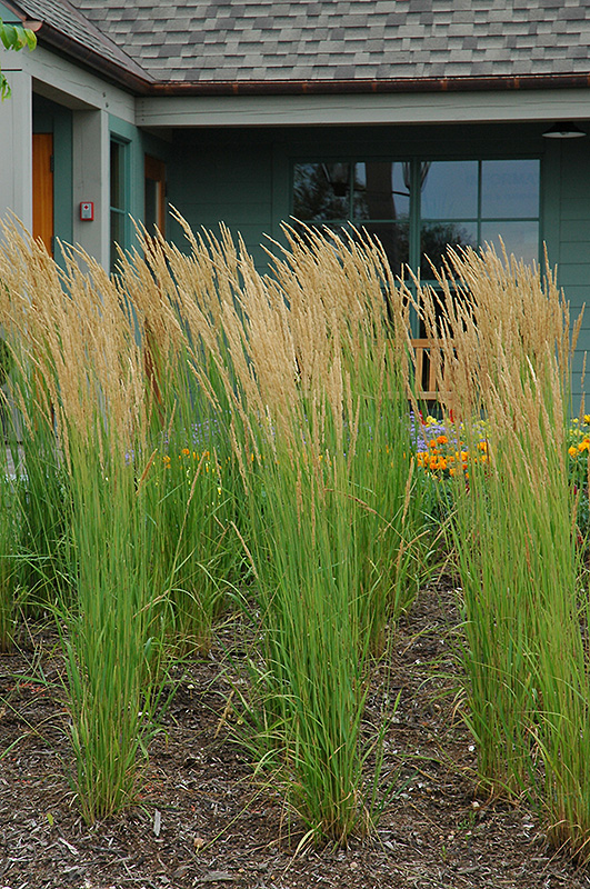 Karl foerster reed grass calamagrostis x acutiflora 39 karl for Tall feather grass