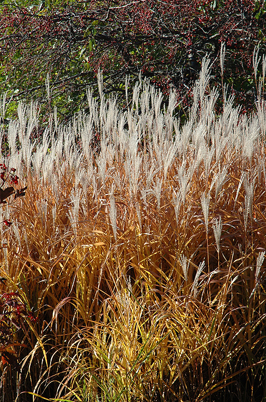 Flame grass miscanthus sinensis 39 purpurascens 39 in for Ornamental grasses with plumes