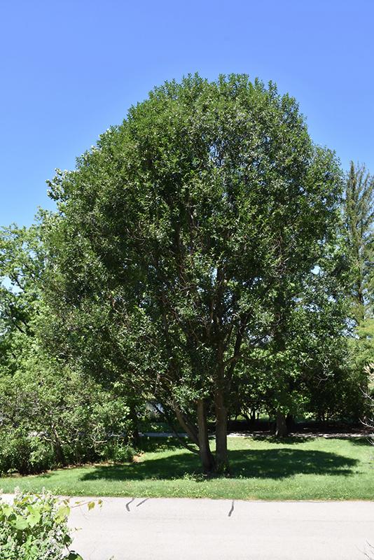 Laurel Leaf Willow (Salix pentandra) in Strathmore Calgary
