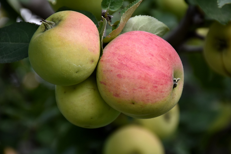 Norland Apple (Malus 'Norland') in Strathmore Calgary