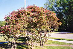 Arnold Red Tatarian Honeysuckle (Lonicera tatarica 'Arnold Red') at Eagle Lake Nurseries