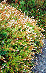 Scotch Heather (Calluna vulgaris) at Eagle Lake Nurseries