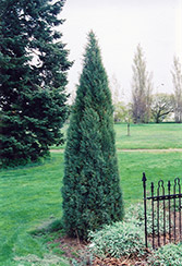 Medora Juniper (Juniperus scopulorum 'Medora') at Eagle Lake Nurseries