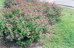 Dart's Red Spirea (Spiraea x bumalda 'Dart's Red') at Eagle Lake Nurseries
