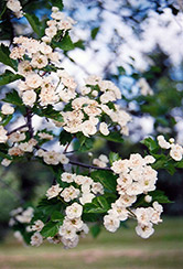 Snowbird Hawthorn (Crataegus x mordenensis 'Snowbird') at Eagle Lake Nurseries
