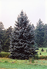 Hoopsii Blue Spruce (Picea pungens 'Hoopsii') at Eagle Lake Nurseries