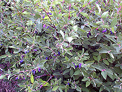 Berry Smart™ Blue Honeyberry (Lonicera caerulea 'Berry Smart Blue') at Eagle Lake Nurseries