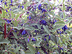 Blue Belle Honeyberry (Lonicera caerulea 'Blue Belle') at Eagle Lake Nurseries