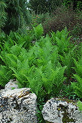 Ostrich Fern (Matteuccia strutheriopteris) at Eagle Lake Nurseries