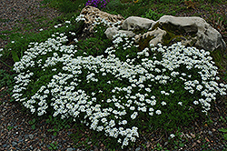 Candytuft (Iberis sempervirens) at Eagle Lake Nurseries