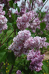 Montaigne Lilac (Syringa vulgaris 'Montaigne') at Eagle Lake Nurseries
