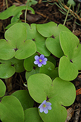European Liverleaf (Hepatica nobilis) at Eagle Lake Nurseries