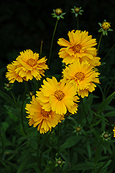 Early Sunrise Tickseed (Coreopsis 'Early Sunrise') at Eagle Lake Nurseries