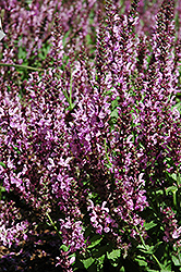 Rose Queen Sage (Salvia nemorosa 'Rose Queen') at Eagle Lake Nurseries