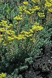 Blue Spruce Stonecrop (Sedum rupestre) at Eagle Lake Nurseries