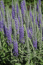 Wooly Speedwell (Veronica spicata 'var. incana') at Eagle Lake Nurseries