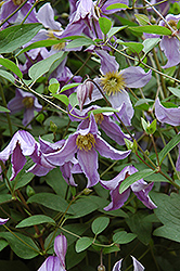 Blue Boy Clematis (Clematis 'Blue Boy') at Eagle Lake Nurseries
