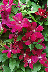 Rouge Cardinal Clematis (Clematis 'Rouge Cardinal') at Eagle Lake Nurseries