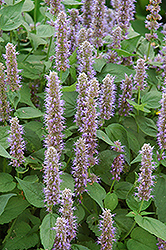 Blue Fortune Anise Hyssop (Agastache 'Blue Fortune') at Eagle Lake Nurseries