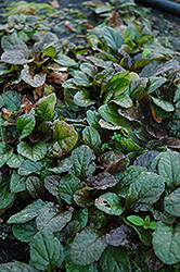 Bronze Beauty Bugleweed (Ajuga reptans 'Bronze Beauty') at Eagle Lake Nurseries
