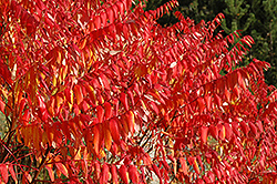Smooth Sumac (Rhus glabra) at Eagle Lake Nurseries