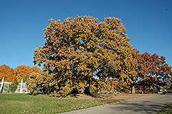 Bur Oak (Quercus macrocarpa) at Eagle Lake Nurseries