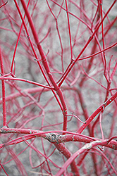 Siberian Coral Dogwood (Cornus alba 'Sibirica') at Eagle Lake Nurseries