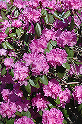 P.J.M. Rhododendron (Rhododendron 'P.J.M.') at Eagle Lake Nurseries