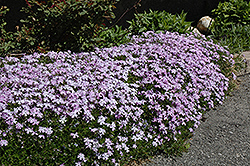 Emerald Blue Moss Phlox (Phlox subulata 'Emerald Blue') at Eagle Lake Nurseries