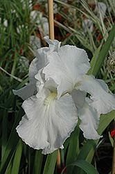 Immortality Iris (Iris 'Immortality') at Eagle Lake Nurseries