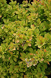 Sunsation Japanese Barberry (Berberis thunbergii 'Sunsation') at Eagle Lake Nurseries