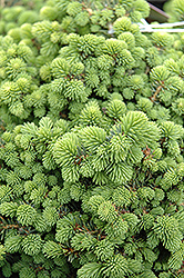 Little Gem Spruce (Picea abies 'Little Gem') at Eagle Lake Nurseries