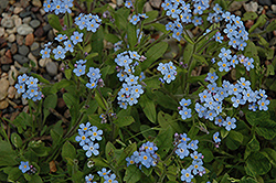 Forget-Me-Not (Myosotis sylvatica) at Eagle Lake Nurseries