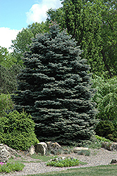 Fat Albert Blue Spruce (Picea pungens 'Fat Albert') at Eagle Lake Nurseries