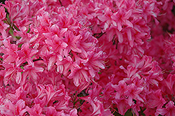 Rosy Lights Azalea (Rhododendron 'Rosy Lights') at Eagle Lake Nurseries