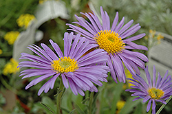 Goliath Alpine Aster (Aster alpinus 'Goliath') at Eagle Lake Nurseries