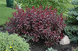 Purpleleaf Sandcherry (Prunus x cistena) at Eagle Lake Nurseries