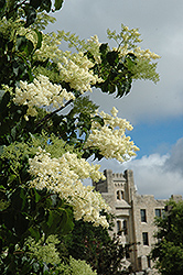 Ivory Silk Japanese Tree Lilac (Syringa reticulata 'Ivory Silk') at Eagle Lake Nurseries