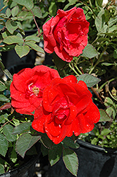 Morden Fireglow Rose (Rosa 'Morden Fireglow') at Eagle Lake Nurseries