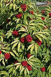 Red-Berried Elder (Sambucus racemosa) at Eagle Lake Nurseries