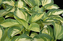 June Hosta (Hosta 'June') at Eagle Lake Nurseries