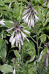 Francee Hosta (Hosta 'Francee') at Eagle Lake Nurseries