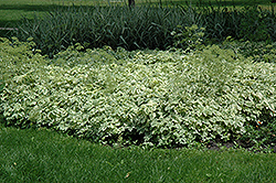 Snow on the Mountain  (Aegopodium podagraria 'Variegata') at Eagle Lake Nurseries