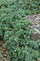 Blue Rug Juniper (Juniperus horizontalis 'Wiltonii') at Eagle Lake Nurseries