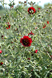 Monarch's Velvet Cinquefoil (Potentilla thurberi 'Monarch's Velvet') at Eagle Lake Nurseries