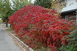 Staghorn Sumac (Rhus typhina) at Eagle Lake Nurseries